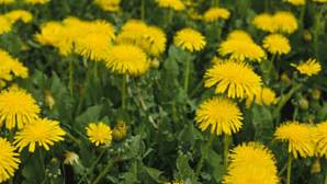 Health Benefits of Dandelions