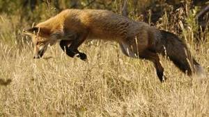 Foxes see Earth's magnetic field and use it to target prey