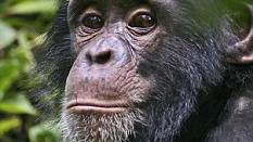 Researchers: Chimps may have the ability to understand language too - humans just get more practice