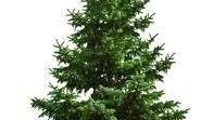 Christmas Tree DNA: complex conifer genome 'dauntingly huge'