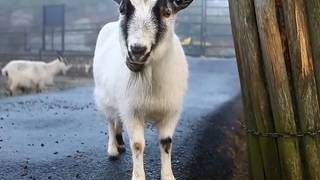 Sweden enriched: Baby goat kidnapped from Gothenburg animal park, has been found raped and severely burned