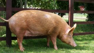 Scientists Find Rare Superbug on Pig Farm; It Could Transmit to Humans