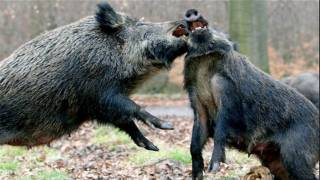 Legacy of Chernobyl: Boar shot in Sweden Found to have 10 Times the Accepted Amount of Radiation