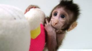 In a Scientific First, Cloned Monkeys Are Born. Will They Accelerate Biomedical Research?