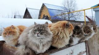Welcome to Koshlandia, Siberia's Whimsical Land of Cats