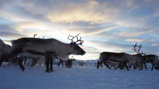 Herds of Arctic Reindeer Walking in Mesmerizing Circular Patterns