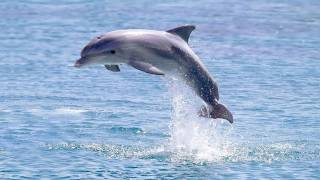 Are Captive Dolphins 'Happy'?