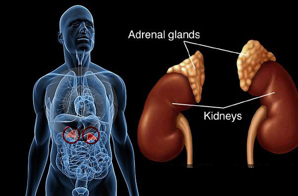 identifying & healing adrenal gland fatigue, Human Body