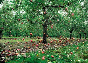 Apples Fall From The Sky In England