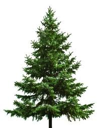 We Re Talking About The Conifer Term For Cone Bearing Trees Like Spruce Fir Pine Cypress And Cedar Apart From Their Holiday Pority